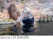 Anteater (Myrmecophaga tridactyla) / ant bear - Wildlife animal. Стоковое фото, фотограф Zoonar.com/nad mah / easy Fotostock / Фотобанк Лори