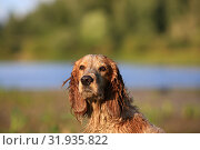 Купить «Dog breed Russian hunting spaniel outdoors portrait», фото № 31935822, снято 31 июля 2019 г. (c) Яна Королёва / Фотобанк Лори