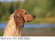Купить «Dog breed Russian hunting spaniel outdoors portrait», фото № 31935826, снято 31 июля 2019 г. (c) Яна Королёва / Фотобанк Лори