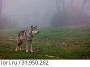 Купить «Wolf standing in a field in autumn», фото № 31950262, снято 7 июня 2020 г. (c) easy Fotostock / Фотобанк Лори