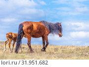 Купить «Exhausted after a bad winter feed, the mare and foal graze in the meadow.», фото № 31951682, снято 24 апреля 2019 г. (c) Акиньшин Владимир / Фотобанк Лори