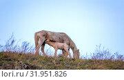 Купить «Emaciated mare and foal graze in the meadow.», фото № 31951826, снято 27 апреля 2019 г. (c) Акиньшин Владимир / Фотобанк Лори