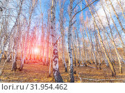 Купить «birch forest against the blue sky on a spring sunny day», фото № 31954462, снято 24 апреля 2019 г. (c) Акиньшин Владимир / Фотобанк Лори