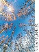 Купить «birch forest against the blue sky on a spring sunny day», фото № 31954470, снято 24 апреля 2019 г. (c) Акиньшин Владимир / Фотобанк Лори
