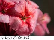 Купить «Пеларгония зональная Pelargonium zonale Willd», фото № 31954962, снято 14 июля 2019 г. (c) А. А. Пирагис / Фотобанк Лори