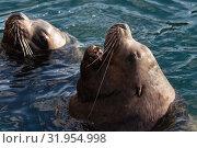 Купить «Морской лев Стеллера, или сивуч», фото № 31954998, снято 3 февраля 2019 г. (c) А. А. Пирагис / Фотобанк Лори