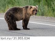 Камчатский бурый медведь. Стоковое фото, фотограф А. А. Пирагис / Фотобанк Лори