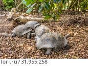 Aldabra giant tortoise, Turtle on the beach (2018 год). Редакционное фото, фотограф Александр Бекишев / Фотобанк Лори