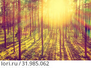 Купить «Coniferous forest in the rays of the setting sun. Summer evening in the coniferous forest.», фото № 31985062, снято 6 августа 2019 г. (c) Икан Леонид / Фотобанк Лори