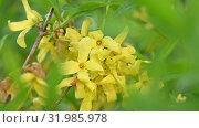 Close up yellow flowers of Forsythia Easter tree. Стоковое видео, видеограф Anton Eine / Фотобанк Лори