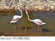 Купить «Розовые фламинго в вольере», фото № 31986062, снято 4 июня 2019 г. (c) Лариса Вишневская / Фотобанк Лори