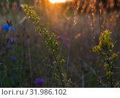 Летний пейзаж. Поле с цветами на закате. Контровый свет. Стоковое фото, фотограф E. O. / Фотобанк Лори