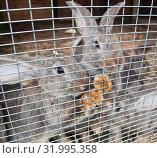 Купить «Серо-коричневые кролики в клетке», фото № 31995358, снято 5 августа 2019 г. (c) E. O. / Фотобанк Лори