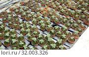 Купить «Seedlings of tomatoes growing in pots in greenhouse», видеоролик № 32003326, снято 26 апреля 2019 г. (c) Яков Филимонов / Фотобанк Лори