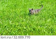 Купить «Маленький серый котенок идет по зеленой траве в солнечный день летом», фото № 32009770, снято 4 августа 2019 г. (c) Екатерина Овсянникова / Фотобанк Лори
