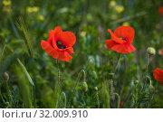 Купить «Красные маки в поле крупным планом», фото № 32009910, снято 9 мая 2019 г. (c) Литвяк Игорь / Фотобанк Лори