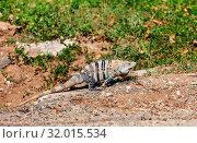 Wild green iguana in Costa Rica. Стоковое фото, фотограф Zoonar.com/Galyna Andrushko / easy Fotostock / Фотобанк Лори