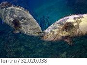 Два группера Голиафа (Epinephelus itajara) встретились на рифе. Стоковое фото, фотограф Татьяна Белова / Фотобанк Лори