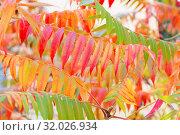 Купить «Seasons. Autumn colorful seasonal natural background with fall foliage texture. Acacia branches with yellow green red and orange purple golden leaves in the park», фото № 32026934, снято 7 октября 2018 г. (c) Светлана Евграфова / Фотобанк Лори