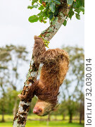 The sloth on the tree in Costa Rica, Central America. Стоковое фото, фотограф Zoonar.com/Galyna Andrushko / easy Fotostock / Фотобанк Лори