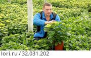 Купить «Positive man farmer working with Hydrangea plants while gardening in glasshouse», видеоролик № 32031202, снято 26 апреля 2019 г. (c) Яков Филимонов / Фотобанк Лори