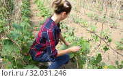 Купить «Confident woman farmer working in hothouse, fastening creeping cucumber plants on supporting netting», видеоролик № 32031246, снято 3 июня 2019 г. (c) Яков Филимонов / Фотобанк Лори