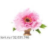 Pink Peony flower ,Paeonia suffruticosa, isolated on white. Стоковое фото, фотограф Peredniankina / Фотобанк Лори