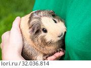 Cute Guinea pig beige and black sits on his hands. Стоковое фото, фотограф Катерина Белякина / Фотобанк Лори