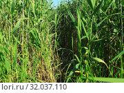 Купить «Заросли камыша. Высокая трава.», фото № 32037110, снято 19 июля 2019 г. (c) Валерий Митяшов / Фотобанк Лори