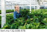 Купить «Young woman gardener in gloves working with euphorbia pulcherrima in pots», фото № 32038978, снято 3 октября 2018 г. (c) Яков Филимонов / Фотобанк Лори