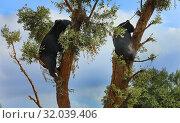 Купить «Bears climbed trees against the blue sky», фото № 32039406, снято 9 августа 2019 г. (c) Алексей Кузнецов / Фотобанк Лори