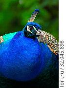 Купить «Portrait peafowl. Detail face peacock. Adult peacock. Photo from animal live. Peacock in garden.», фото № 32045898, снято 29 марта 2020 г. (c) easy Fotostock / Фотобанк Лори