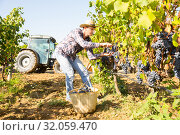 Farmer harvesting blue grapes. Стоковое фото, фотограф Яков Филимонов / Фотобанк Лори