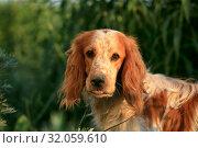 Купить «Portrait of a cute dog breed Russian hunting spaniel in nature», фото № 32059610, снято 20 июня 2019 г. (c) Яна Королёва / Фотобанк Лори