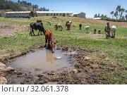 Cattle grazing the fields near Ankober, Ethiopia. Стоковое фото, фотограф Edwin Remsberg / age Fotostock / Фотобанк Лори