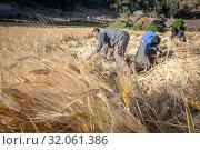 Barley harvest near Ankober, Ethiopia. (2019 год). Редакционное фото, фотограф Edwin Remsberg / age Fotostock / Фотобанк Лори