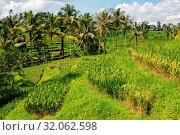 Купить «Rice terrace near ubud in bali indonesia», фото № 32062598, снято 8 апреля 2020 г. (c) easy Fotostock / Фотобанк Лори
