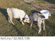 Купить «Два дерущихся молодых козла», фото № 32063138, снято 17 июля 2019 г. (c) Николай Мухорин / Фотобанк Лори