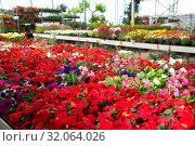 Купить «View of different bloomy flowers begonia growing in greenhouse», фото № 32064026, снято 7 августа 2020 г. (c) Яков Филимонов / Фотобанк Лори