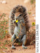 Cute ground squirrel at kgalagadi national park. Стоковое фото, фотограф Zoonar.com/matthieu gallet / age Fotostock / Фотобанк Лори