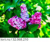 Купить «Fresh purple lilac flowers and green leaves. Selective focus.», фото № 32068210, снято 5 апреля 2020 г. (c) easy Fotostock / Фотобанк Лори