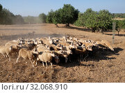 Spain, Mallorca - Flock of sheep on a field in Cas Concos (2018 год). Редакционное фото, агентство Caro Photoagency / Фотобанк Лори