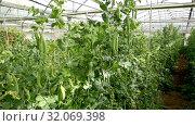 Купить «Closeup of ripe pods of peas on green bush in greenhouse», видеоролик № 32069398, снято 26 апреля 2019 г. (c) Яков Филимонов / Фотобанк Лори