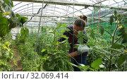 Купить «Confident woman farmer working in hothouse, fastening tomato plants on supporting netting», видеоролик № 32069414, снято 3 июня 2019 г. (c) Яков Филимонов / Фотобанк Лори