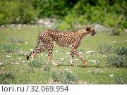 Nature, Wild, Animal, Cheetah, Namibia, Tasha, Acinonyx. Стоковое фото, фотограф Lukas Schwab / age Fotostock / Фотобанк Лори