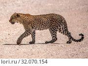 Nature, Wild, Animal, Namibia, Tasha, Panthera pardus, Leopard. Стоковое фото, фотограф Lukas Schwab / age Fotostock / Фотобанк Лори