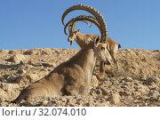 Купить «Nubian ibex (Capra nubiana sinaitica) with huge horns in Sde Boker. Negev desert of southern Israel», фото № 32074010, снято 12 августа 2019 г. (c) Валерия Попова / Фотобанк Лори