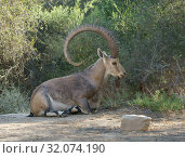 Купить «Nubian ibex (Capra nubiana sinaitica) with huge horns lies in shade of plants in Sde Boker. Negev desert of southern Israel», фото № 32074190, снято 3 августа 2019 г. (c) Валерия Попова / Фотобанк Лори