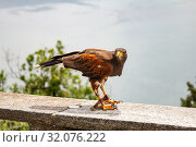 Eagle falconry walks on a stone fence against the backdrop of beautiful defocused lake Como and alps mountains. At a Falcon Centre in Castello di Vezio. Varenna, Italy, Europe. Стоковое фото, фотограф Алексей Ширманов / Фотобанк Лори