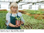Купить «Mature female gardener working with plant of cinta in pots in greenhouse», фото № 32076334, снято 20 августа 2018 г. (c) Яков Филимонов / Фотобанк Лори